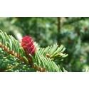 ADIRONDACK Red Spruce